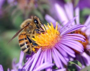 European_honey_bee